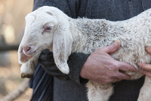 shepherd carrying lamb reduced for web